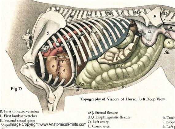 Fantastisch äußere Anatomie Eines Pferdes Ideen - Anatomie Von ...