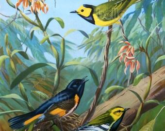 Vintage BIRDS Print - Warblers 1930s Book Illustration by Walter Alois Weber