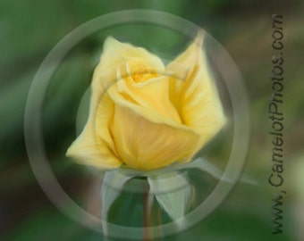 Roses are Yellow Fine Art Print by donPuckett