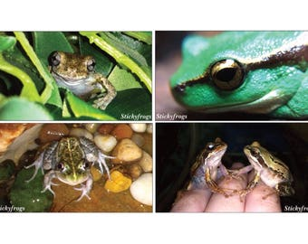 Stickyfrogs Australian Native Frogs Decorative Photo Magnets - Set of 4 - Pack 2