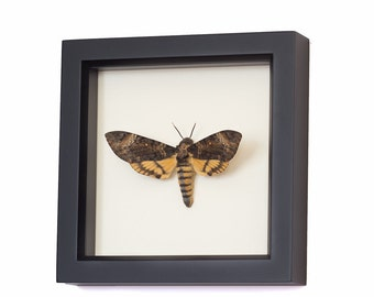 Real Mounted Death Head Moth Taxidermy Display