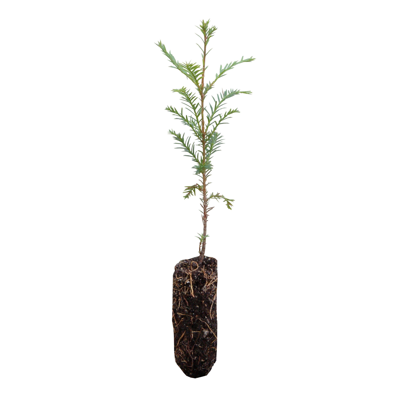 Coast Redwood | Live Tree Seedling | The Jonsteen Company from ...