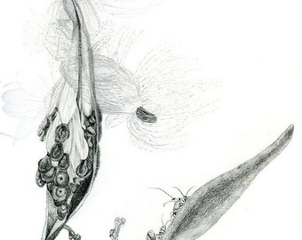 Seed pod of Butterfly weed milkweed, graphite drawing, botanical study, digital download for print of Internet