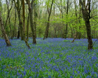Bluebell Heaven Greeting Card, 7x5""