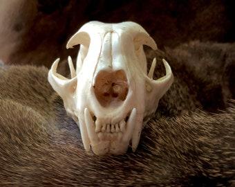 Taxidermy Bobcat skull