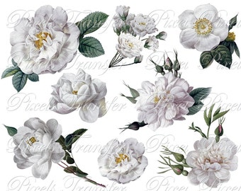 White ROSES of Redoute wedding clipart Instant download, digital images, white cabbage rose flower clipart SALE