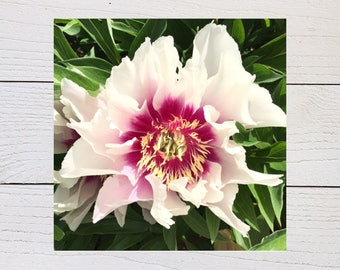 White And Pink Peony Art Print, Peonies, Flower Close-up, Floral Art Print, Square Floral Print, Nature Photography, Peony Lover, Home Decor