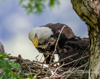 Bald Eagle and Eaglet at Lake Cumberland, Ky #7682