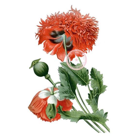 Opium Art Opium Poppy Cli...