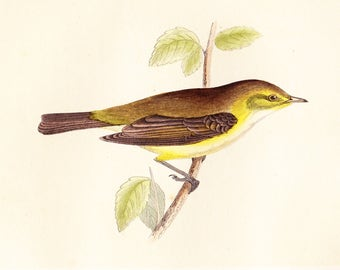 Antique Chiff Chaff Print . original old vintage bird plate woodblock . vol III, dated 1853 art specimen illustration - *Reduced*
