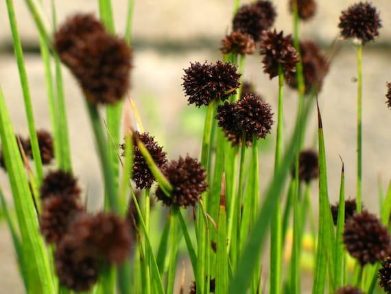 Dwarf Ornamental Grasses Ornamental grass seeds juncus ensifolius aka dwarf workwithnaturefo