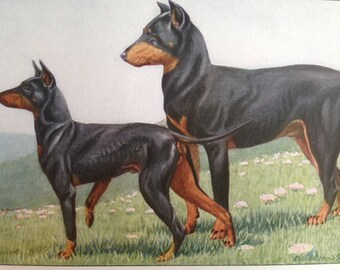 MANCHESTER TERRIER DOBERMANN Pinscher dog Louis Agassiz Fuertes Vintage Mounted 1919 plate print Congratulations Christmas Birthday gift