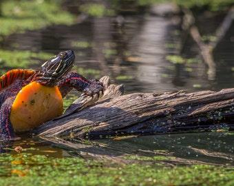 Digital Download: Eastern Painted Turtle photo