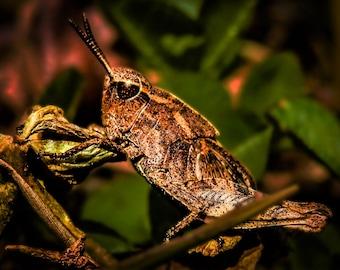"16x20"" Grasshopper Macro Nature Photography Print on Acrylic Canvas"