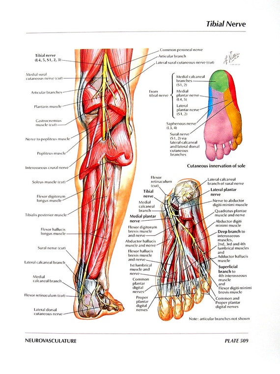 Ähnliche Artikel wie Anatomie - Tibial Nerv, gemeinsame Peroneal ...