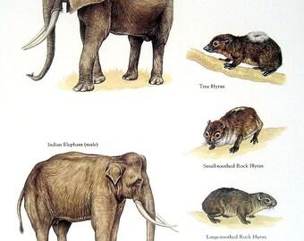 African Elephant, Indian Elephant, Tree Hyrax, etc. Vintage 1984 Animal Book Plate