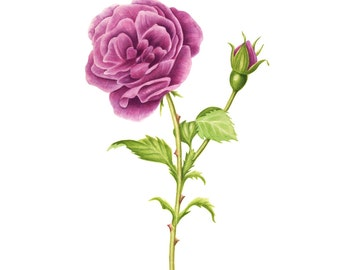 Lavender-Magenta Cabbage Rose- Watercolor Painting