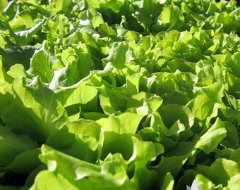 Black Seeded Simpson Lettuce Heirloom Seeds - Non-GMO, Open Pollinated, Untreated