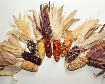 """Mini Indian Corn, 25 pieces 2"""" to 3"""", dried colored corn, fall decoration"""