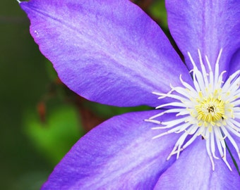 Charity of Your Choice, Purple Clematis Close-Up