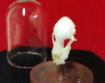 One Rhinolophus Bat Skull Glass Dome Display-collectible-macabre-witch-dracula