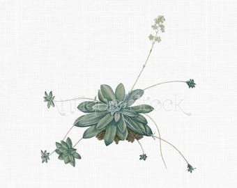 Succulent Clipart 'Pygmyweed' PNG and JPG Antique Botanical Illustration for Wall Decor, Printing, Crafts, Collages...