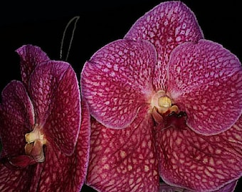 Orchid - Vanda Khao Lak Dream World Giant Pink ……….… Stock #216-6