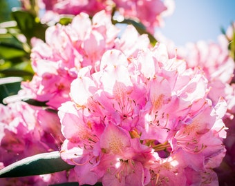 Rhododendron Photograph (Digital Download)