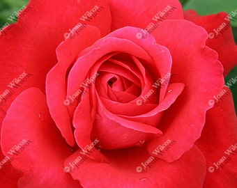 Romantic Red Rose Love Floral Fine Art Photography Photo Print