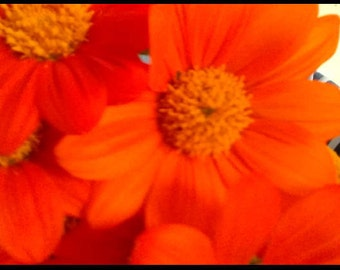 Mexican Sunflower 50 Seeds Free Shipping Beautiful Brilliant Color