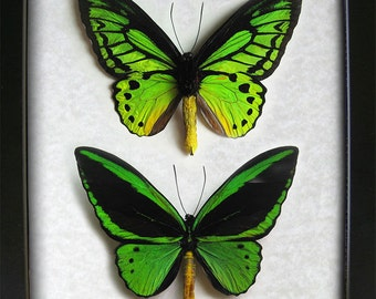 Emerald Birdwing Ornithoptera Priamus Collection Gift Set In Museum Quality Shadowbox