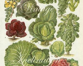 Vintage Botanical Print Antique  CABBAGE SPROUTS 157, plant print botanical print, bookplate art print, vegetables plants plant wall
