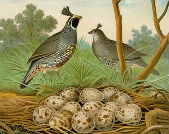 "1882 Matted Antique Bird Print ""California Valley Quail"" Thomas Gentry First Edition Nest and Eggs Natural History 11x14"""