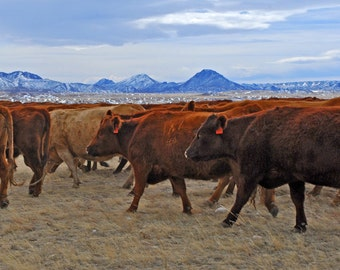 Cattle Trailing - western photograph - cow cattle herd wyoming west art ranch landscape