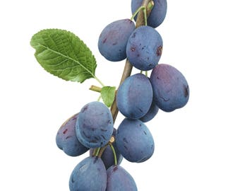 Damsons Limited Edition Giclee Print
