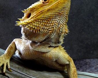 Bearded Dragon Lizard Reptile Picture Card