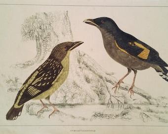 Birds ca. 1850, Banded Croadbill, Original Hand-Colored Lithograph, Vintage Print, Goldsmith, Fullarton, Zoological / Ornithological Print