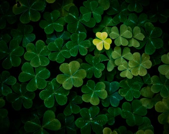 Puzzle Pieces - Nature photo of clovers under the Redwood forest in California