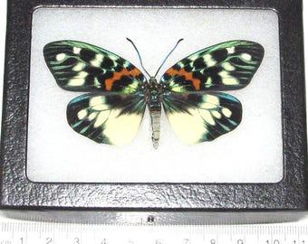 Real framed butterfly day flying moth blue green Erasmia pulchera