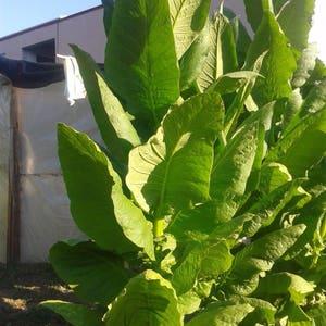 Kentucky Dark Tobacco 100 Seeds - Amazing Flavor, Rare Variety Tobacco Seeds