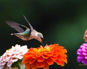 Bird Photography, Hummingbird Print, Bird Art, Hummingbird Picture, Nature Gifts, Hummingbird Photography, Photo Prints, Hummingbird Decor