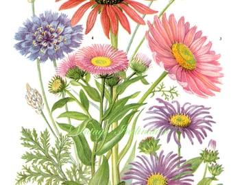 Vintage Print FLOWERS Aster Ctananche 123 chart beautiful 1960 wall art antique color lithograph illustration wild garden