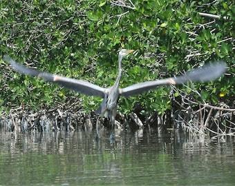 Great Blue Herons  - 8 photos-Tavernier and Islamorada FL  - Trisha Mihaiu - Small blue herons