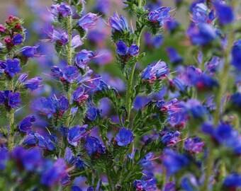 20000 Seeds 100 grams Echium vulgare Vipers Bugloss Hardy Biennial Exotic Garden Flower Seed Supply B0011(1)