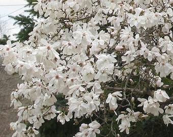 1 Star Magnolia- Magnolia stellata
