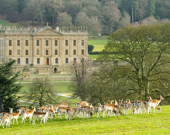 The Herd at Chatsworth House