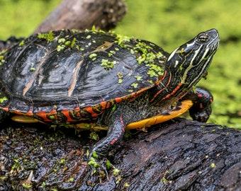 Digital Download: Eastern Painted Turtle #2 photo