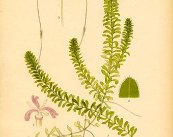 CANADIAN WATERWEED - Botanical Book Page 482