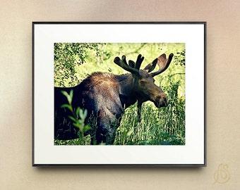 Moose Photograph // Colorado Mountain Wildlife Photography // Fine Art Print // wall decor // 8x10 11x14
