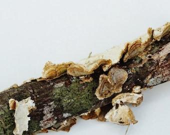 Small Log With Shelf Fungus , Florist's Supply, Terrarium Decoration - B8